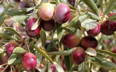 aceituna-variedad-rojal